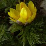 Amur Adonisroeschen Adonis amurensis 04