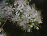 Amur Traubenkirsche Bluete weiss Prunus maackii 20