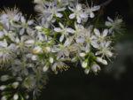 Amur Traubenkirsche Bluete weiss Prunus maackii 21
