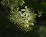 Amur Traubenkirsche Bluete weiss Prunus maackii 22