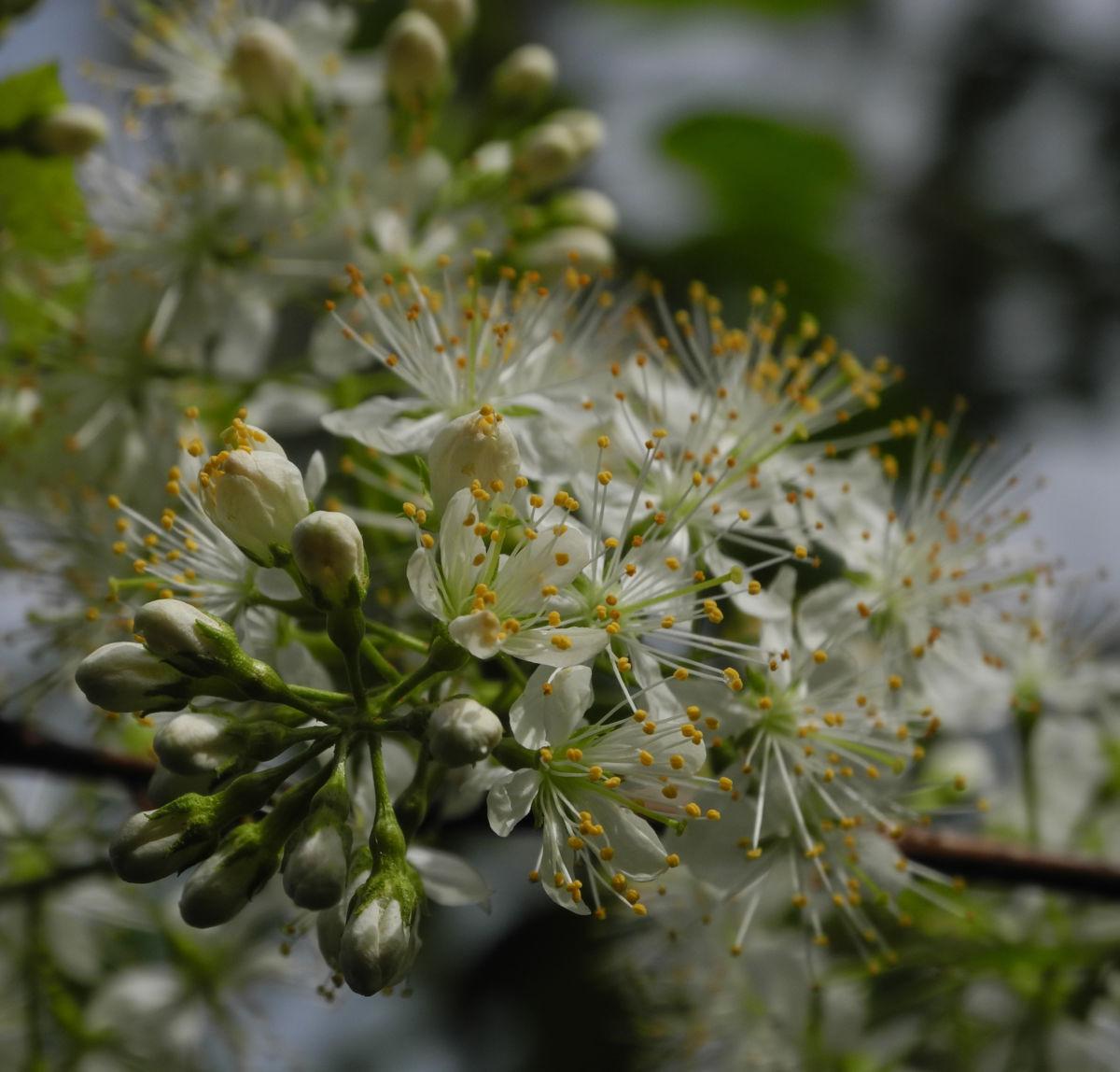 Amur Traubenkirsche Bluete weiss Prunus maackii