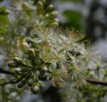 Amur Traubenkirsche Bluete weiss Prunus maackii 23