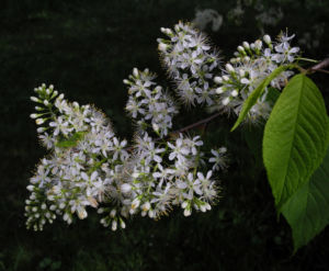 Amur Traubenkirsche Bluete weiss Prunus maackii 24