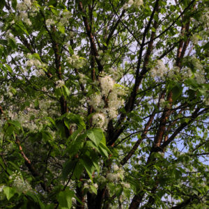 Amur Traubenkirsche Bluete weiss Prunus maackii 26