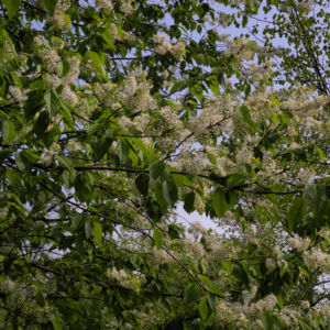 Amur Traubenkirsche Bluete weiss Prunus maackii 27