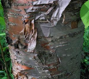 Amur Traubenkirsche Rinde braun weiss Prunus maackii 13