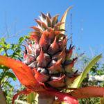 Ananas Frucht rot gruen Ananas comosus 03