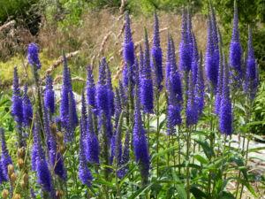Anis Riesenysop Bluete blau Agastache foeniculum 08