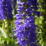 Anis Riesenysop Bluete blau Agastache foeniculum 10