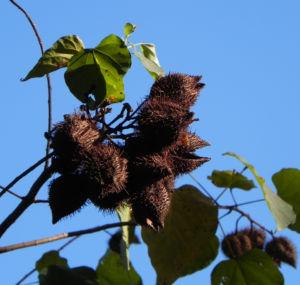Annattostrauch Frucht braun Bixa orellana 01