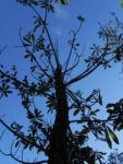 Annattostrauch Frucht braun Bixa orellana 02