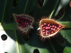 Annattostrauch Frucht braun Bixa orellana 03