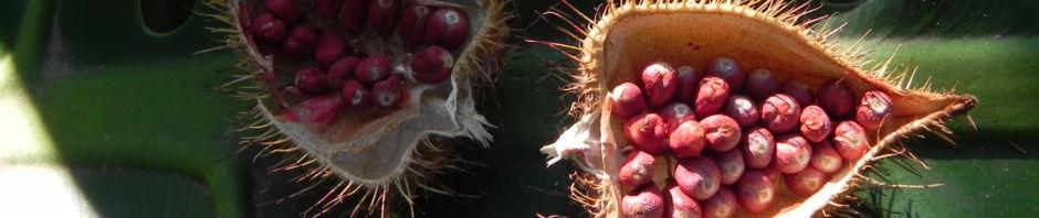 annattostrauch-frucht-braun-bixa-orellana