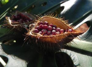 Annattostrauch Frucht braun Bixa orellana 04