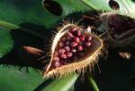 Annattostrauch Frucht braun Bixa orellana 05