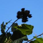 Annattostrauch Frucht braun Bixa orellana 06