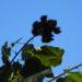 Zurück zum kompletten Bilderset Annattostrauch Frucht braun Bixa orellana