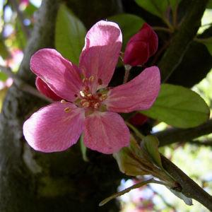 Apfel vielbluetig rosa Bluete Malus floribunda 03