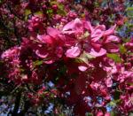 Apfel vielbluetig rosa Bluete Malus floribunda 04