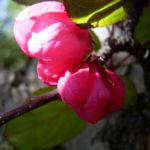 Apfel vielbluetig rosa Bluete Malus floribunda 09