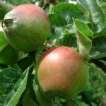 Apfel Malus domestica 01