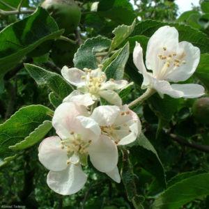 Apfel Malus domestica 03