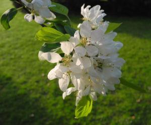 Apfelbaum Bluete weiss Malus domestica 05