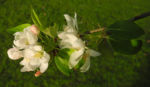 Apfelbaum Bluete weiss Malus domestica 08