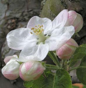 Apfelbaum Bluete weiss Malus domesticus 01