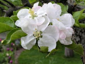 Apfelbaum Bluete weiss Malus domesticus 02