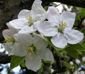 Apfelbaum Bluete weiss Malus domesticus 03