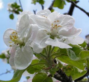 Apfelbaum Bluete weiss Malus domesticus 04