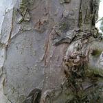 Apfelbaum Bluete weiss Malus domesticus 06