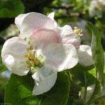 Apfelbaum Bluete weiss Malus domesticus 07 1