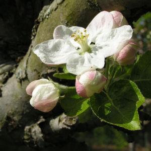 Bild: Apfelbaum Bluete weiss Malus domesticus