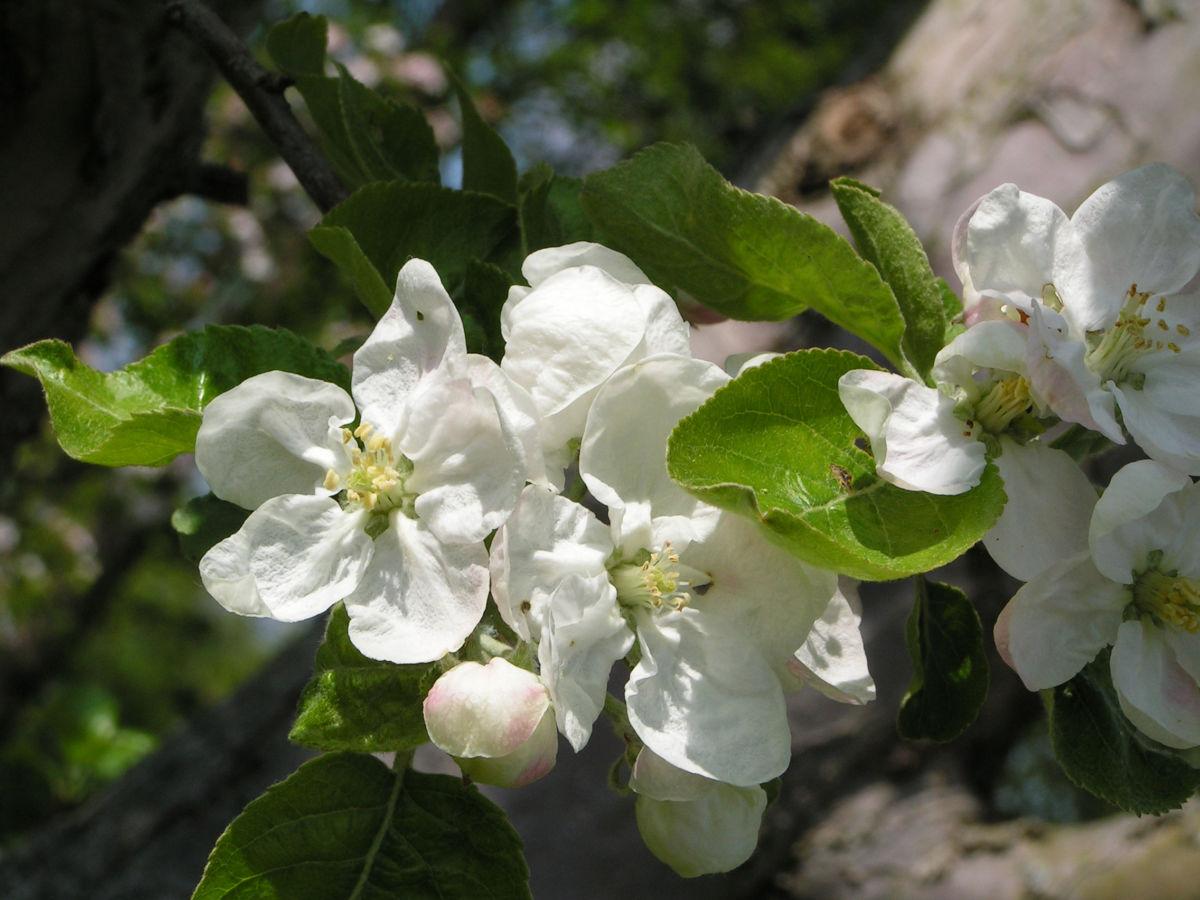 Apfelbaum Bluete weiss Malus domesticus