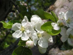 Apfelbaum Bluete weiss Malus domesticus 09