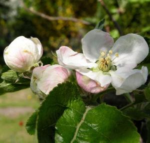 Apfelbaum Bluete weiss Malus domesticus 11