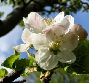 Apfelbaum Bluete weiss Malus domesticus 12