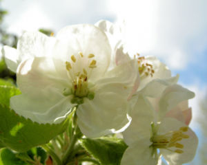 Apfelbaum Bluete weiss Malus domesticus 13