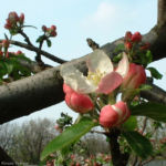 Apfelbaum Bluete Malus 06