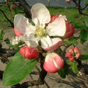 Bild: Apfelbaum Bluete Malus