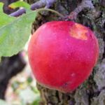 Apfelbaum Frucht rot Malus sieversii 01 2