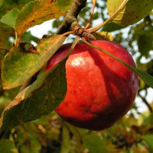 Apfelbaum Frucht rot Malus sieversii 03