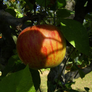 Apfelbaum Frucht rotgelb Malus domestica 01