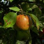 Apfelbaum Frucht rotgelb Malus domestica 06