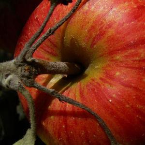 Bild: Apfelbaum Frucht rotgelb Malus domestica