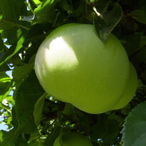 Apfelbaum Frucht Malus domestica 01
