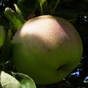 Apfelbaum Frucht Malus domestica 02