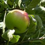 Apfelbaum Frucht Malus domestica 04